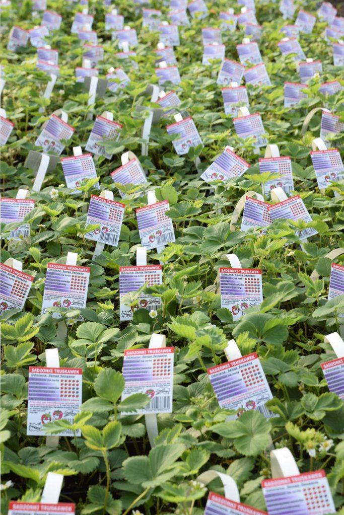 Vi är absolut proffs på jordgubbsplantor